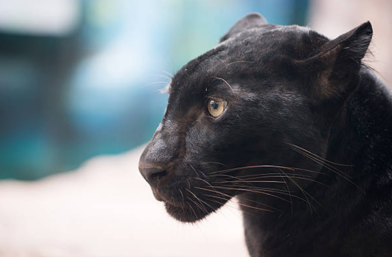 Panthers have large and strong paws and sharp claws that are used for hunting.