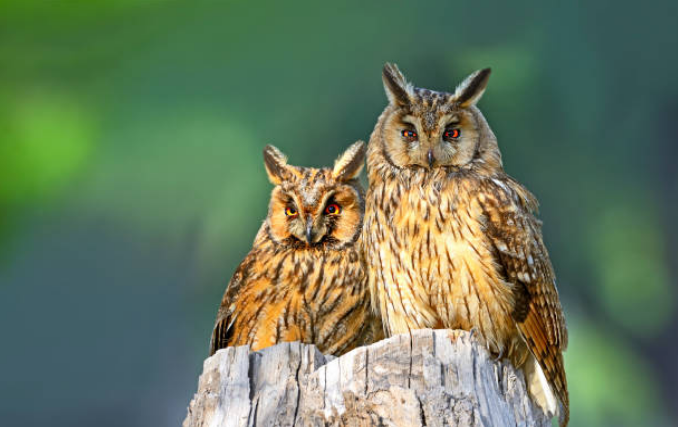Some species of owls have ear-like structures on their head.