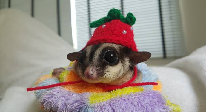 Sugar gliders are very clean animals.