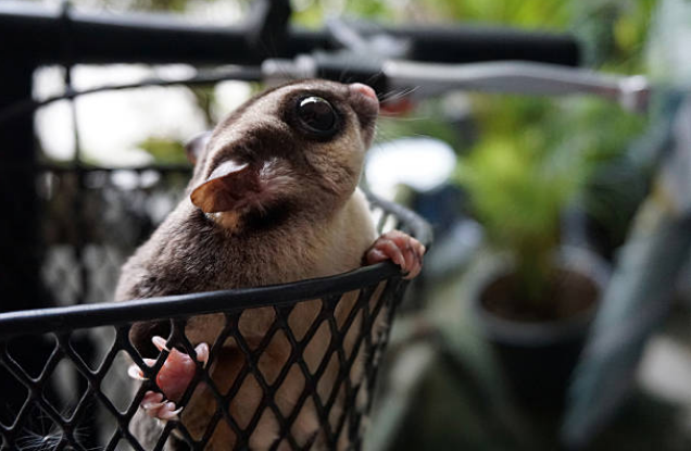 Sugar gliders have fingers that are like sharp hooks, which permit them to glide and stick.