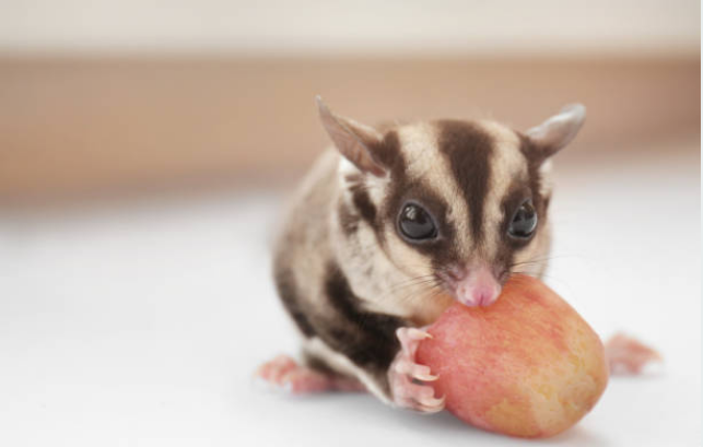 Sugar gliders like eating chocolates and boiled eggs.