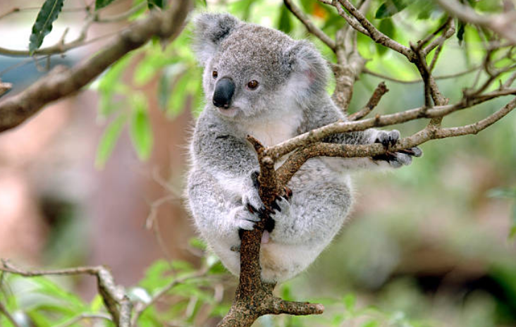 The wombat's closest known ancestor is the koala.