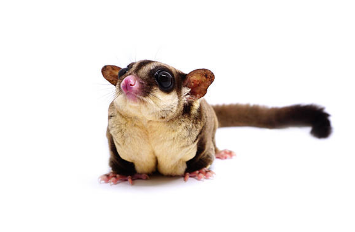 Their weight of sugar glider is only about 4 ounces.