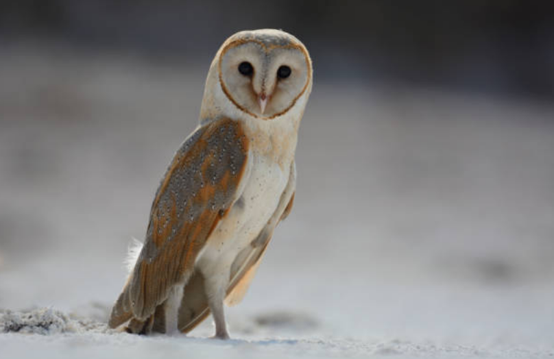 There are only 19 species belong to Barn owl.
