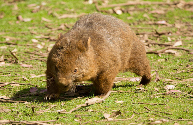 Wombats are territorial and solitary animals.