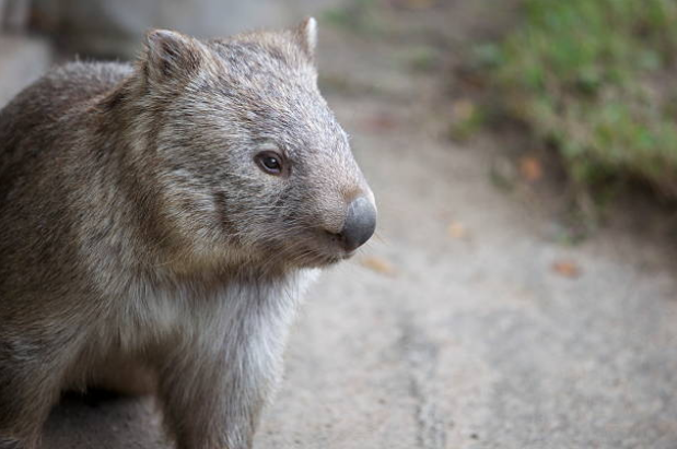 Wombats are the world's largest burrowing animal.