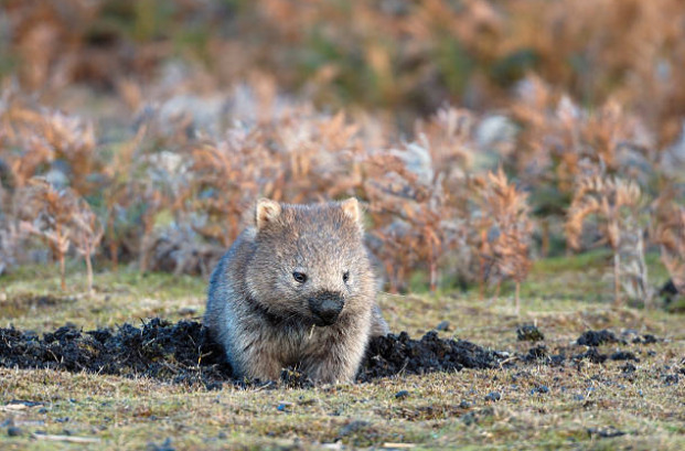 Wombats are very proficient diggers.