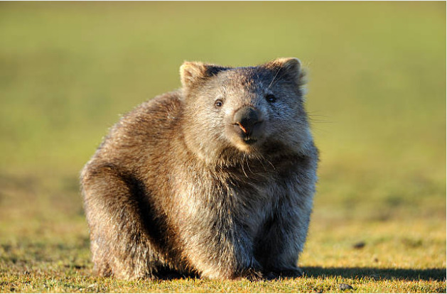 Wombats can reach up to 45 inches in length and up to 80 pounds in weight.