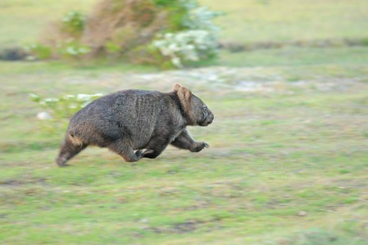 Wombats can run up to 25 miles per hour.