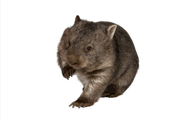 Wombats have slow metabolisms.
