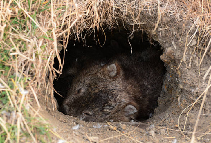 Wombats spend the entire day in their burrows.