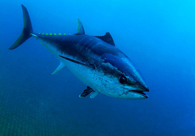 Almost 80% of the world's bluefin tuna catch is used for sushi.