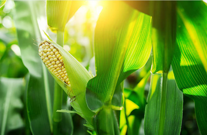 An acre of corn will give off 4,000 gallons of water in evaporation per day.