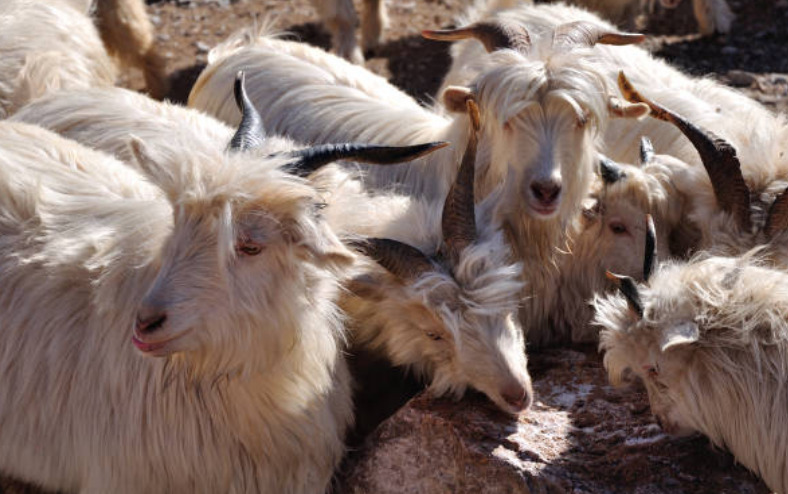 Mongolia is the world's second-largest producer of Cashmere goat's wool.