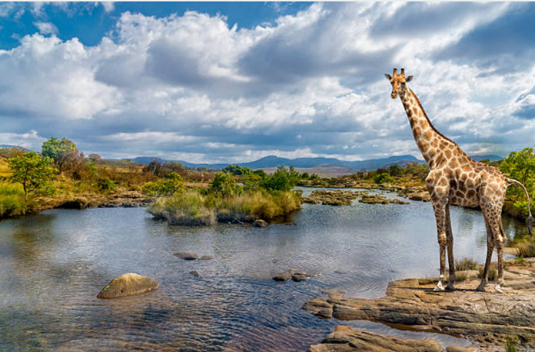 Giraffes can go longer without drinking water.