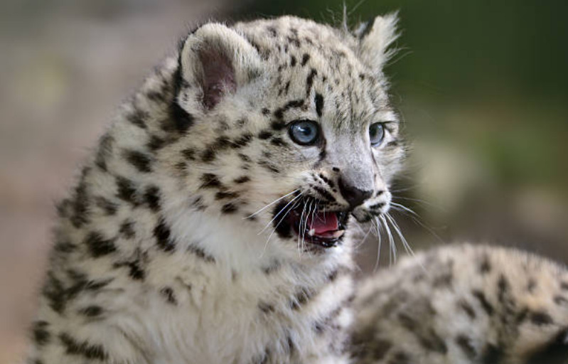 Snow leopards are native to Mongolia.