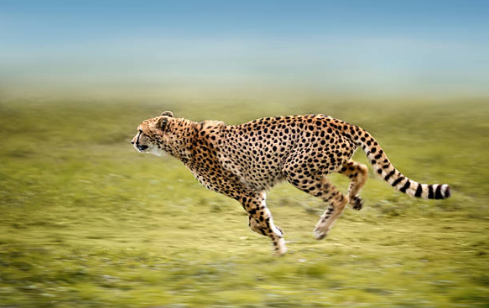 The fastest animal on earth is the cheetah with speed of 110 – 120 km/h.
