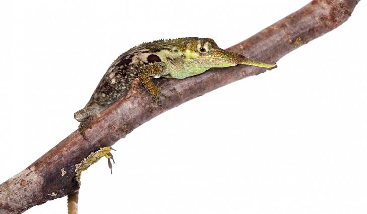 Ecuador is home to the endangered Pinocchio Lizard.