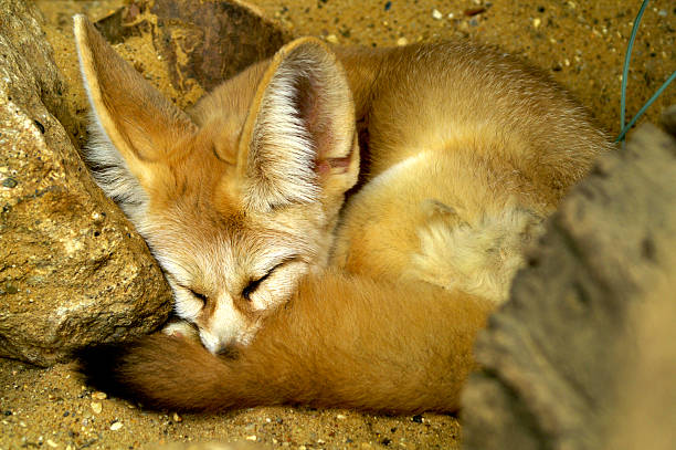 The national animal of Algeria is the Fennec Fox.