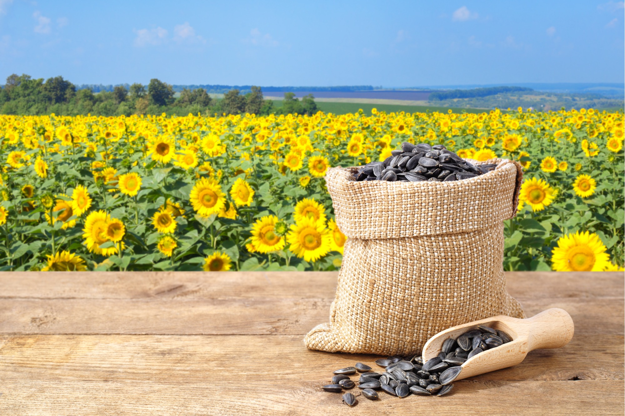 Black seeds are used to make oil and snacks are made out of striped seeds.