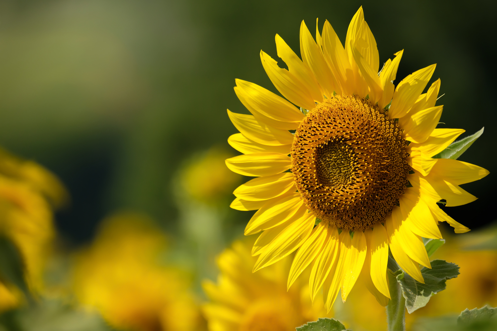 Heliotropism is the name of the behavior for sunflowers turning to face the sun.