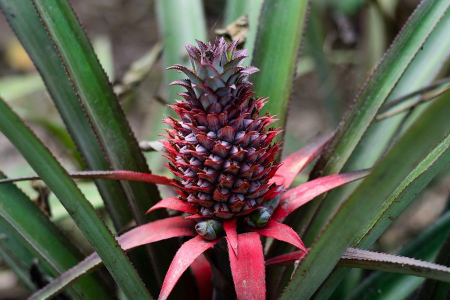 In France, King Louis XV was presented with a pineapple that had been grown at Versailles in 1733.