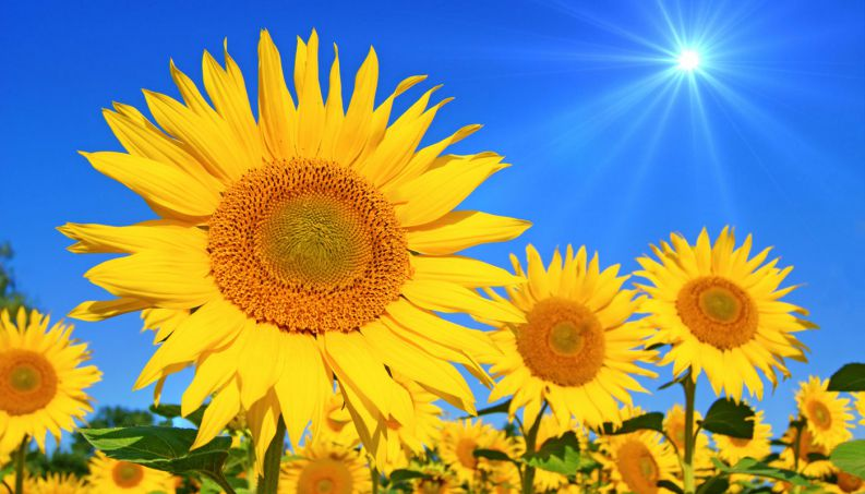 In past, Native Americans used sunflower petals for body paint, and also produced dyes for use on fabrics.