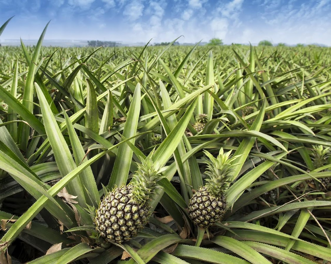 Pineapple can grow on different types of terrains, but it prefers slightly acidic soil.