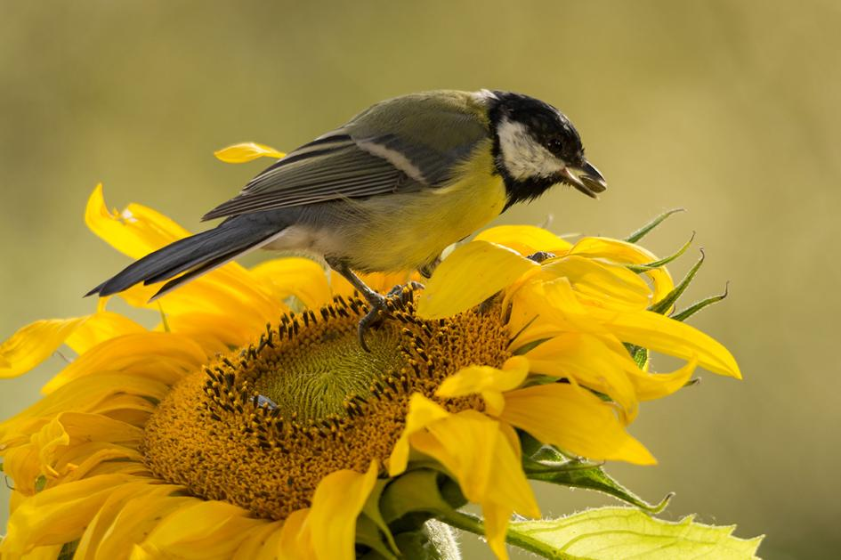 Sunflowers are a great choice for planting to attract birds to your yard.