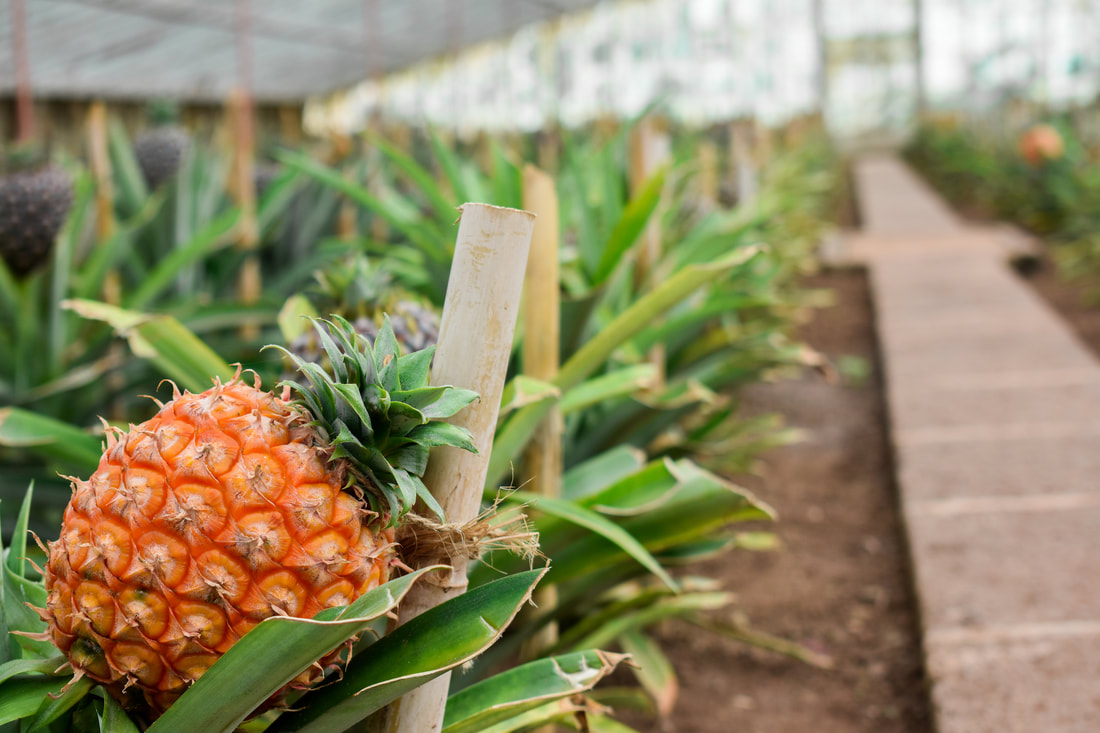 The Dole Plantation's Pineapple Garden Maze in Hawaii has the record for the largest maze in the world.