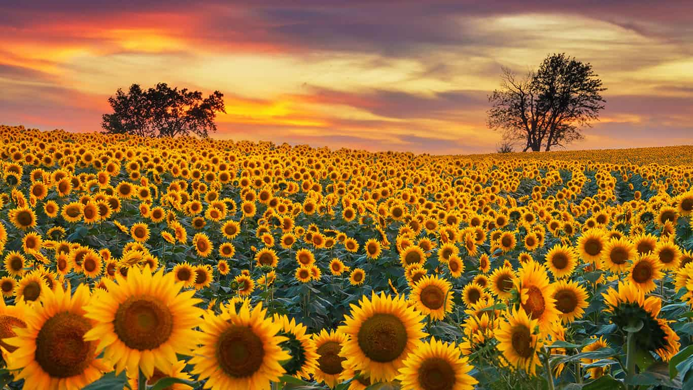 The average, common outdoor variety of sunflower can grow to between 8 and 12 feet in the space of 5 or 6 months. This makes them one of the fastest growing plants.