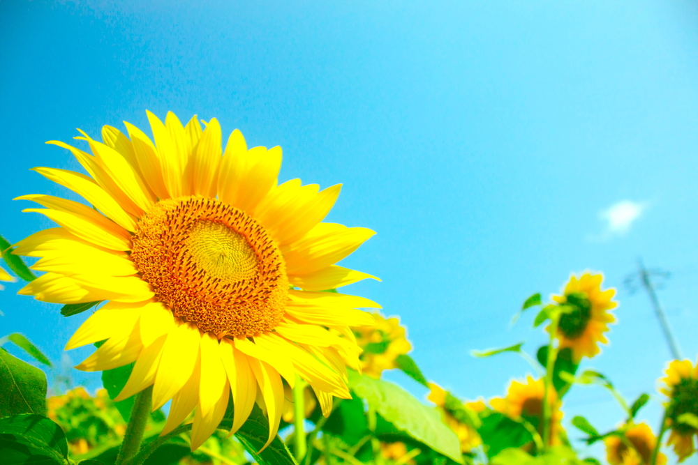 The botanical name for sunflowers is Helianthus Annuus.
