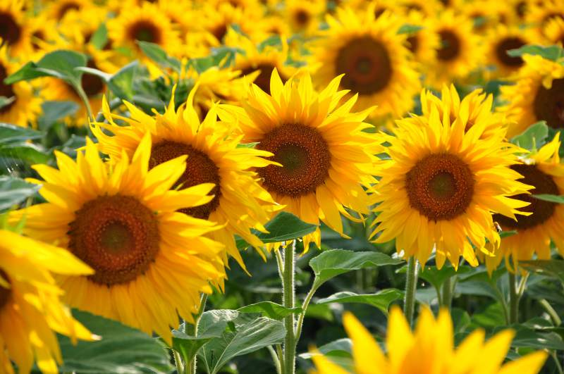 There are some that actually have a fear of sunflowers, it even has a name, Helianthophobia.