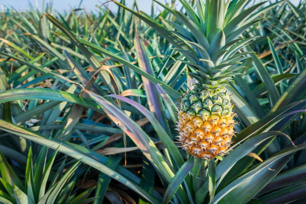 """When European explorers first encountered the fruit in the Americas, they called them """"pineapples"""" because of the resemblance to pine cones."""