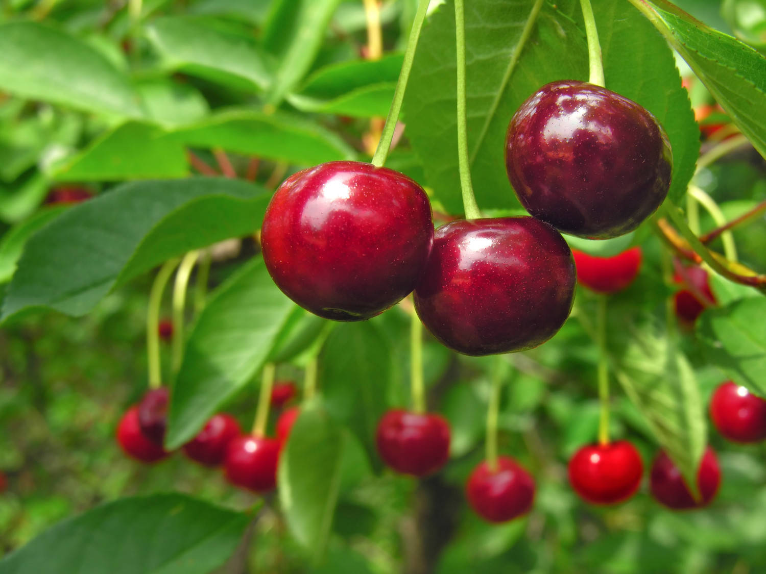 Acerola belongs to the tropical fruit-bearing shrubs in the family Malpighiaceae and contains 2-3 tiny seeds.