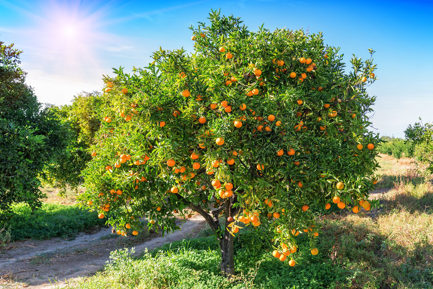 An orange tree can grow to reach 30 feet.