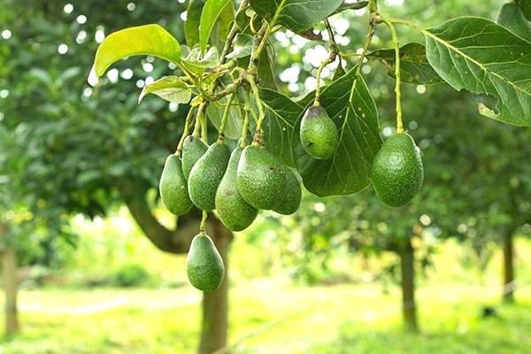 Avocado trees can sometimes live up to 400 years or more in Mexico.