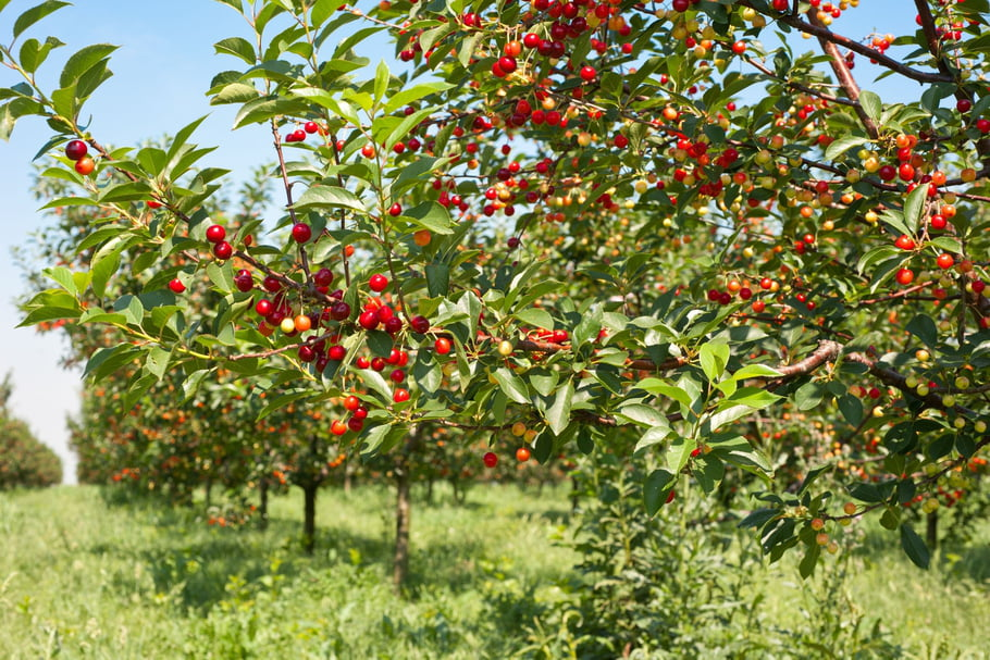 Cherry tree can grow 33 feet in height. Cultivated types are usually smaller.