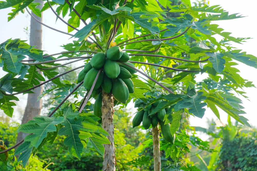 Every part of the papaya tree has latex