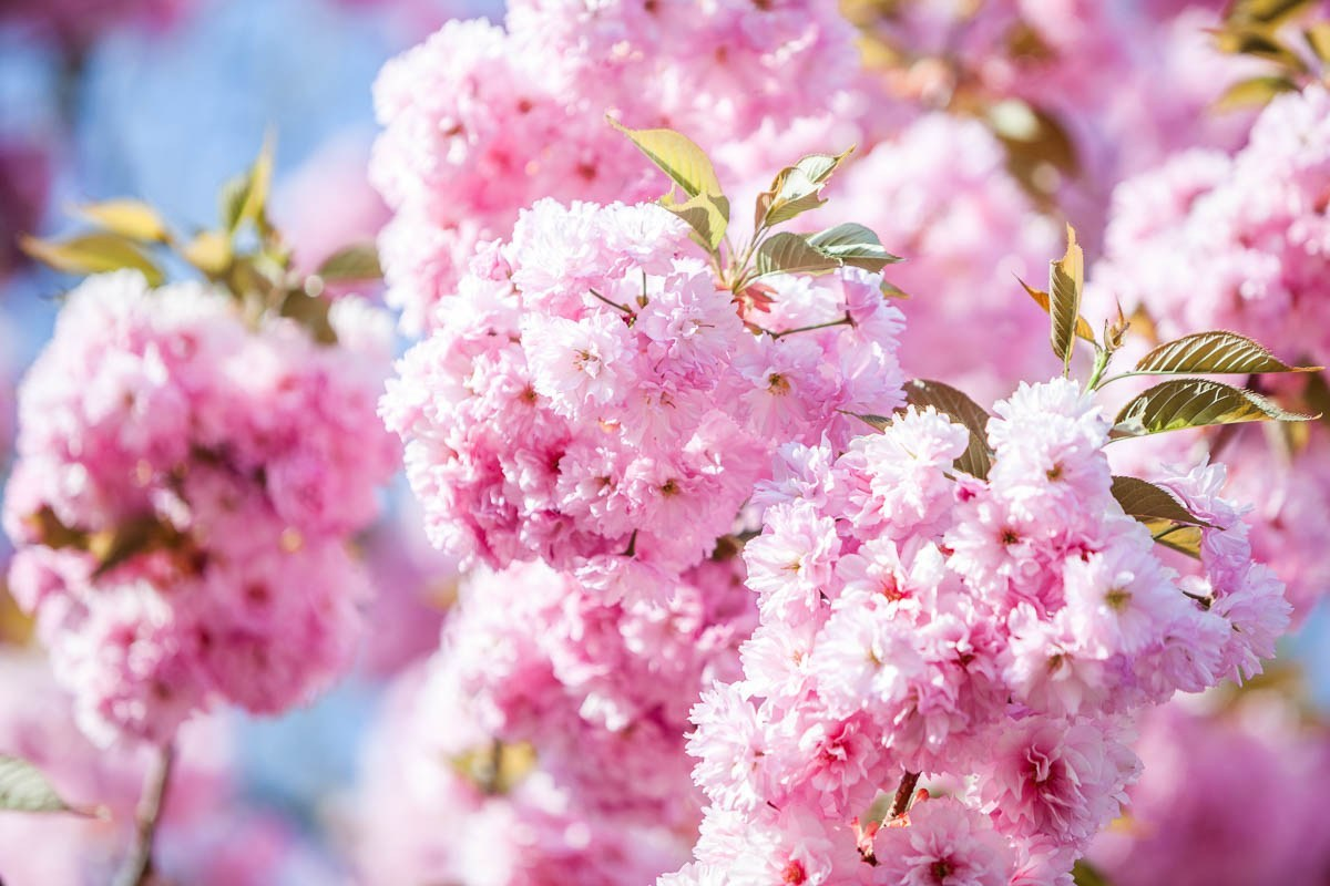 """Hanami"" is an ancient Japanese tradition of viewing cherry trees while they are in bloom."