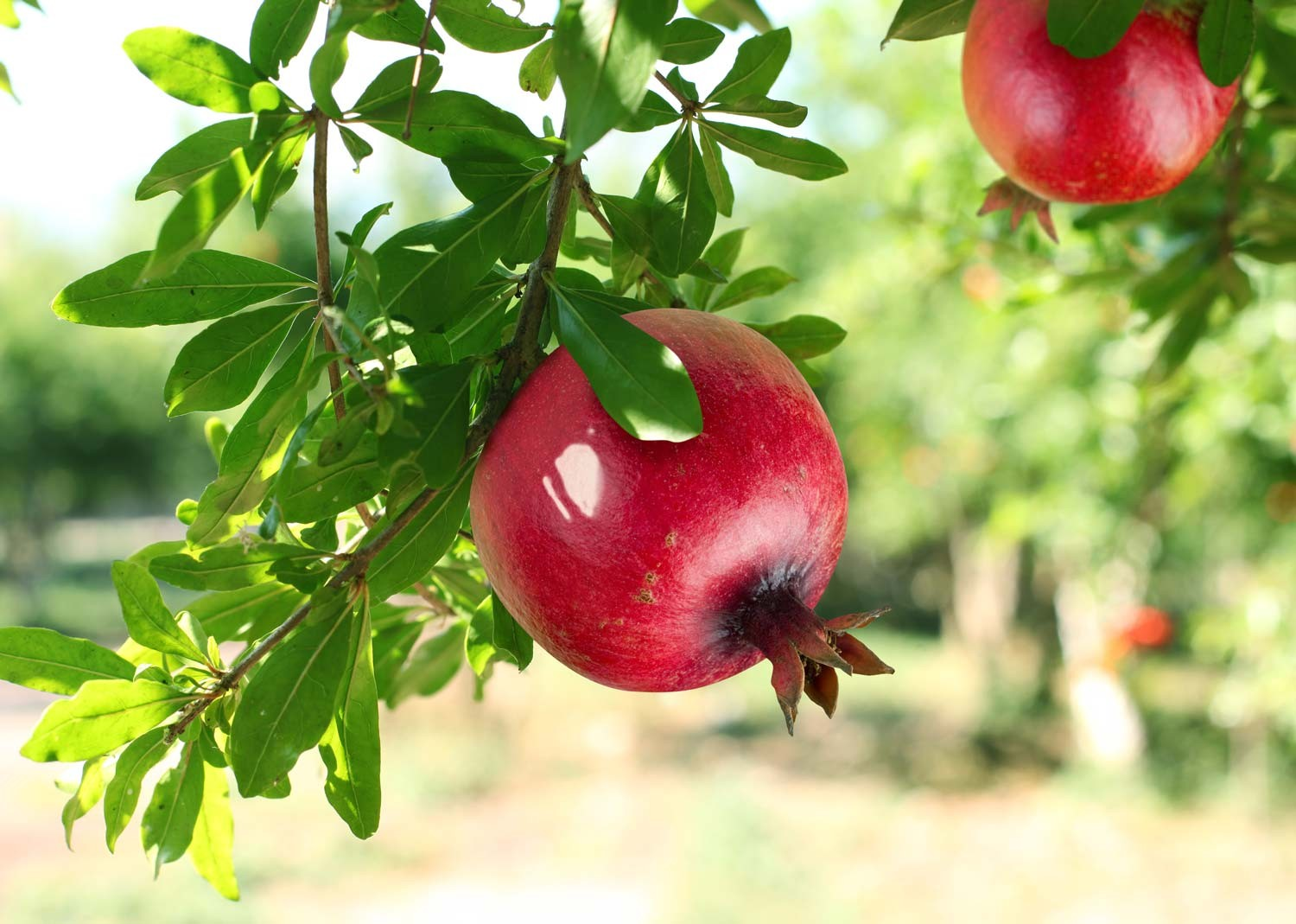 In Japan, the pomegranate plant is often used for bonsai.
