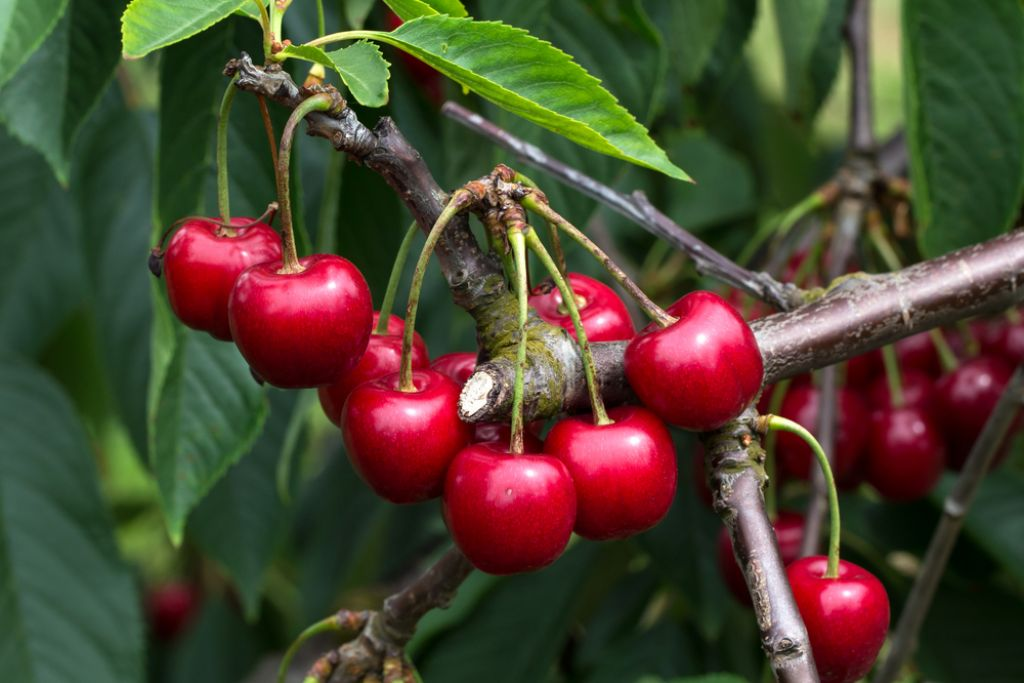 Kirsch was the name given to cherries that were first cultivated in Mesopotamia in 8 BC.