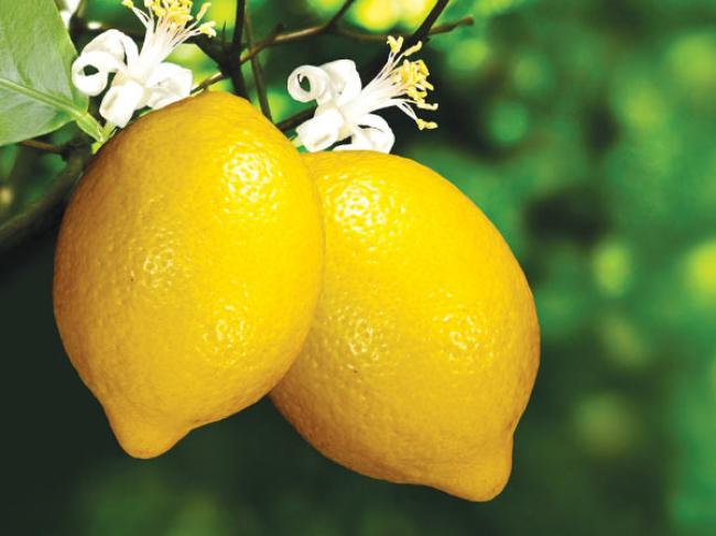 Lemon has 2 inches wide flowers that are composed of 5 white petioles.