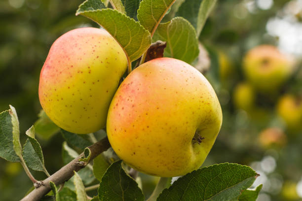 Newton Pippin apples were the first apples exported from America in 1768.