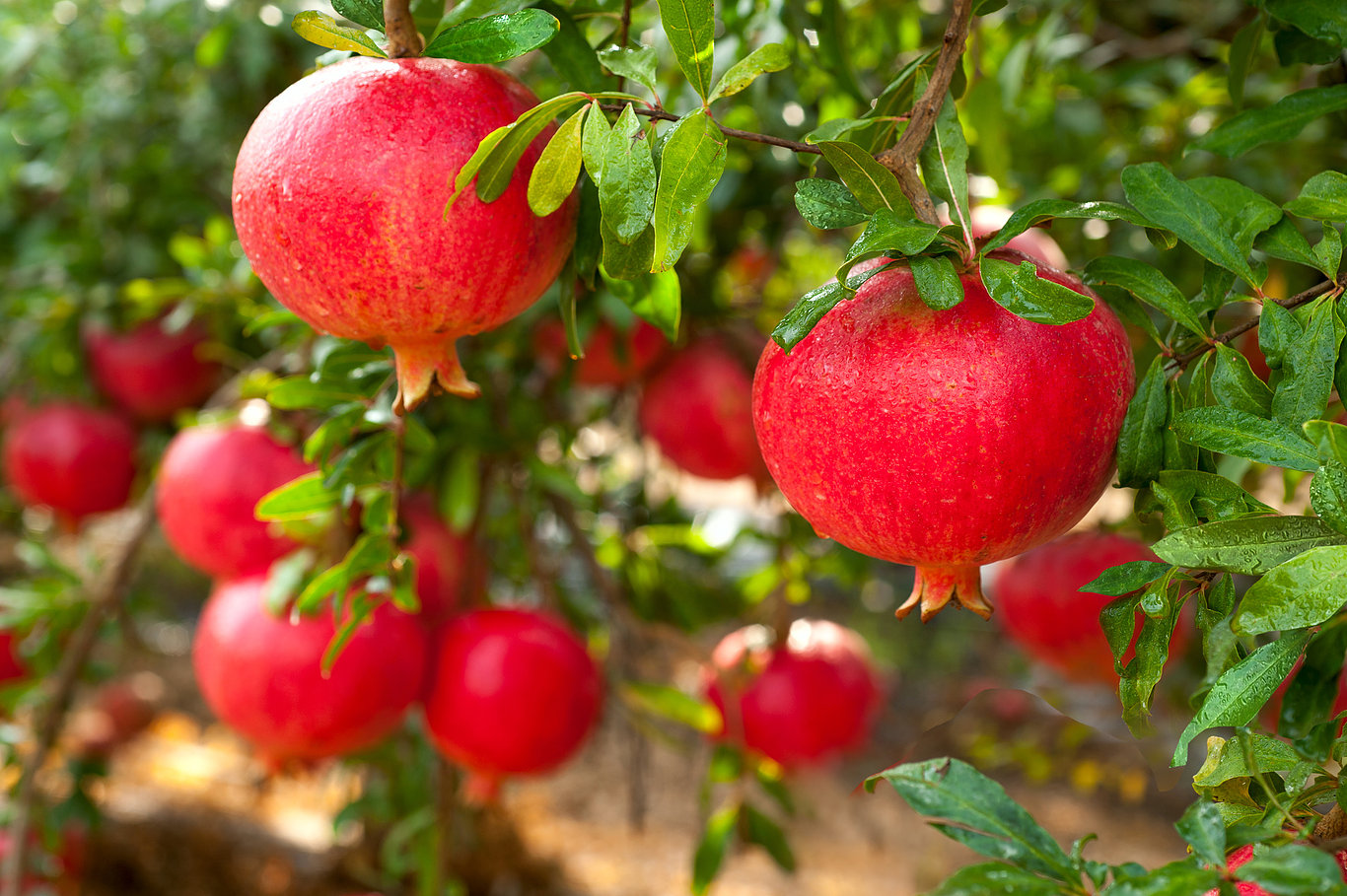 Pomegranates do not contain cholesterol or saturated fats.