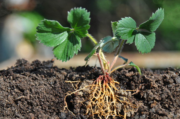 Seventy per cent of a strawberry's roots are located in the top three inches of soil.