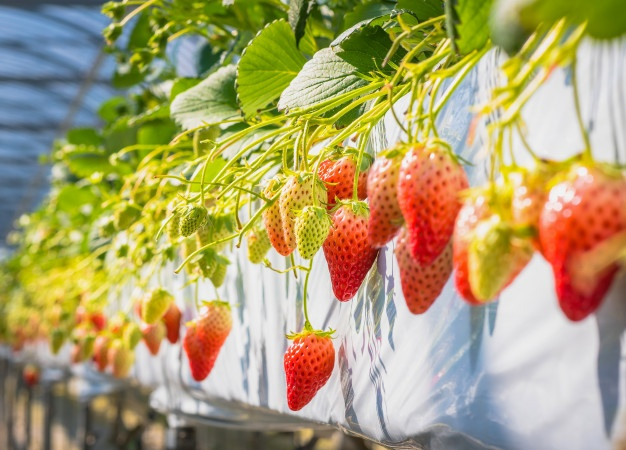 Strawberries at room temperature are sweeter than cold strawberries.
