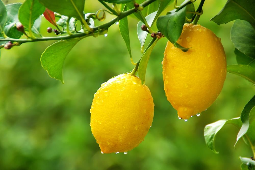 The Eureka lemon was first produced in California and has an oval or oblong shape.