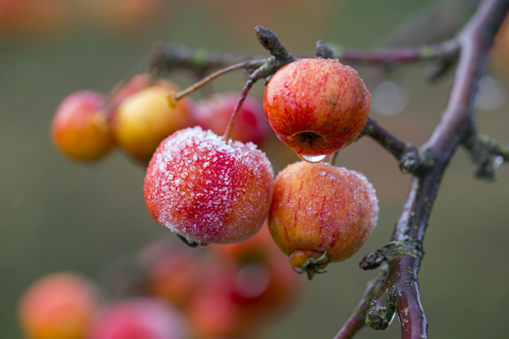 The crabapple is the only variety that is native to North America.