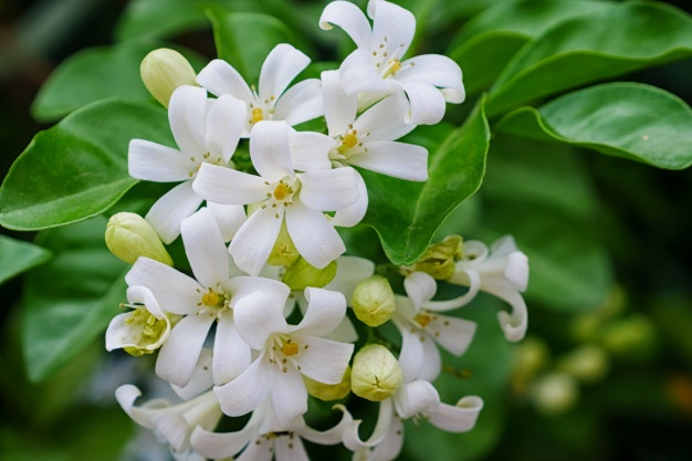 The flowers of an orange tree are white in color and have a wonderful fragrance.